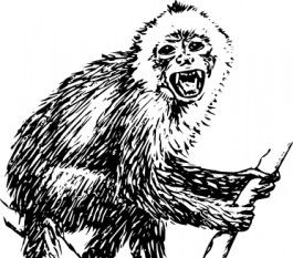 Capuchin clipart #3, Download drawings