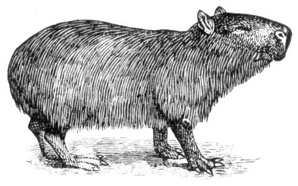 Capybara clipart #5, Download drawings