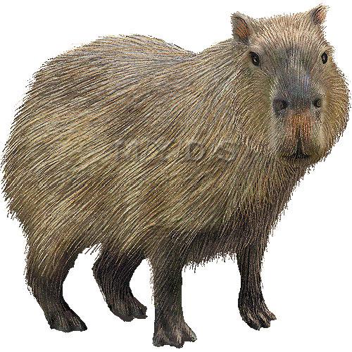 Capybara clipart #10, Download drawings