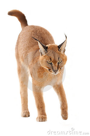 Caracal clipart #7, Download drawings