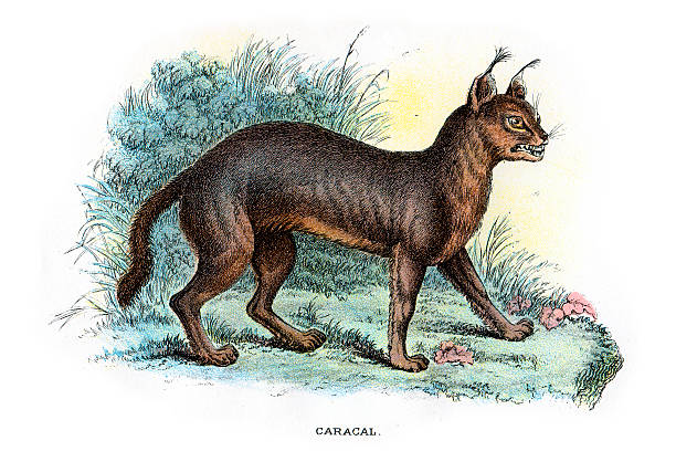 Caracal clipart #9, Download drawings
