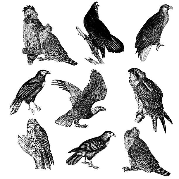 Gyrfalcon clipart #20, Download drawings