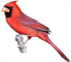 Northern Cardinal clipart #14, Download drawings