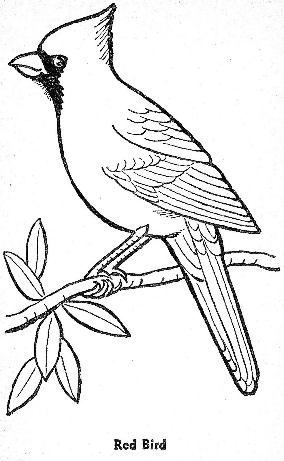 cardinal bird coloring page - cardinal coloring download cardinal coloring