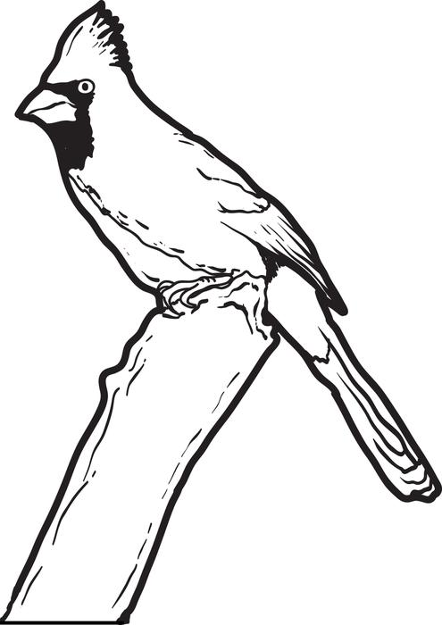 kentucky state flower coloring page - cardinal coloring download cardinal coloring