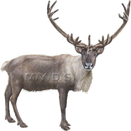 Caribou clipart #12, Download drawings