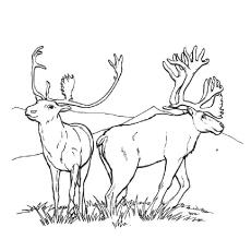 Caribou coloring #2, Download drawings
