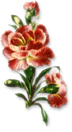 Carnation clipart #4, Download drawings