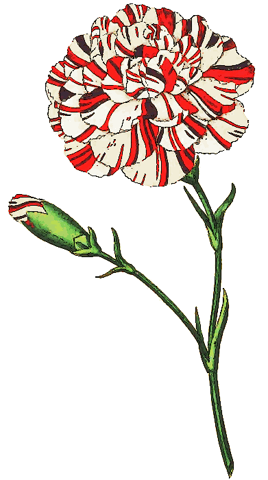 Carnation clipart #19, Download drawings