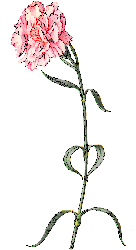 Carnation clipart #17, Download drawings