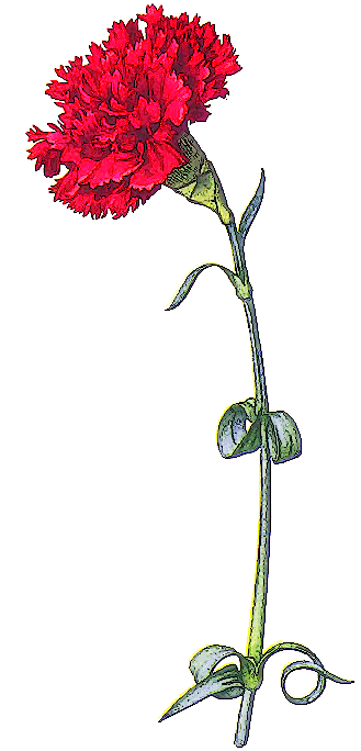 Carnation clipart #16, Download drawings