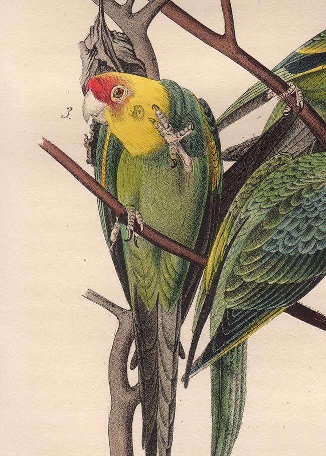 Carolina Parakeet coloring #4, Download drawings