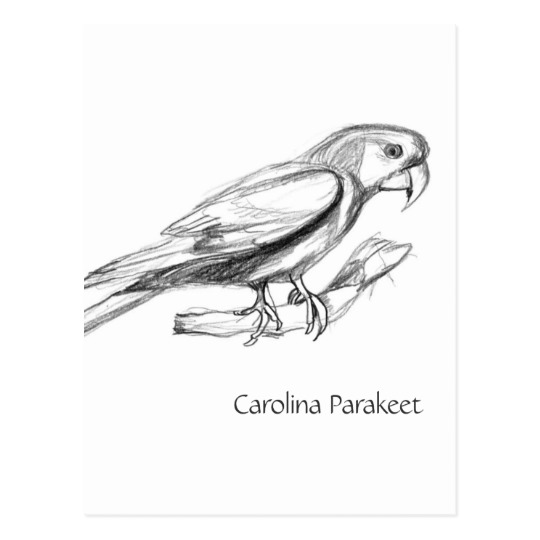 Carolina Parakeet coloring #15, Download drawings