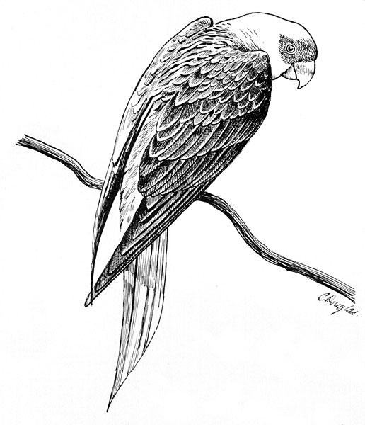 Carolina Parakeet coloring #9, Download drawings