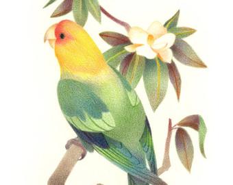 Carolina Parakeet svg #16, Download drawings