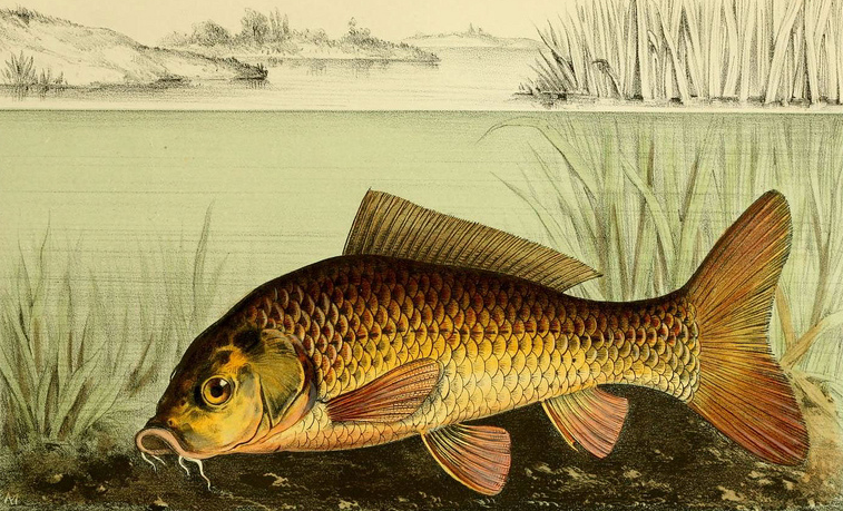 Carp clipart #1, Download drawings