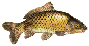 Carp clipart #12, Download drawings