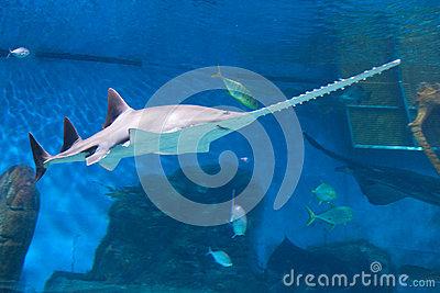 Carpenter Shark clipart #11, Download drawings