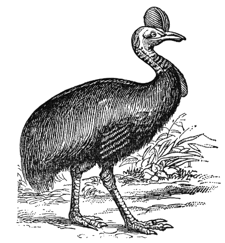 Cassowary clipart #4, Download drawings