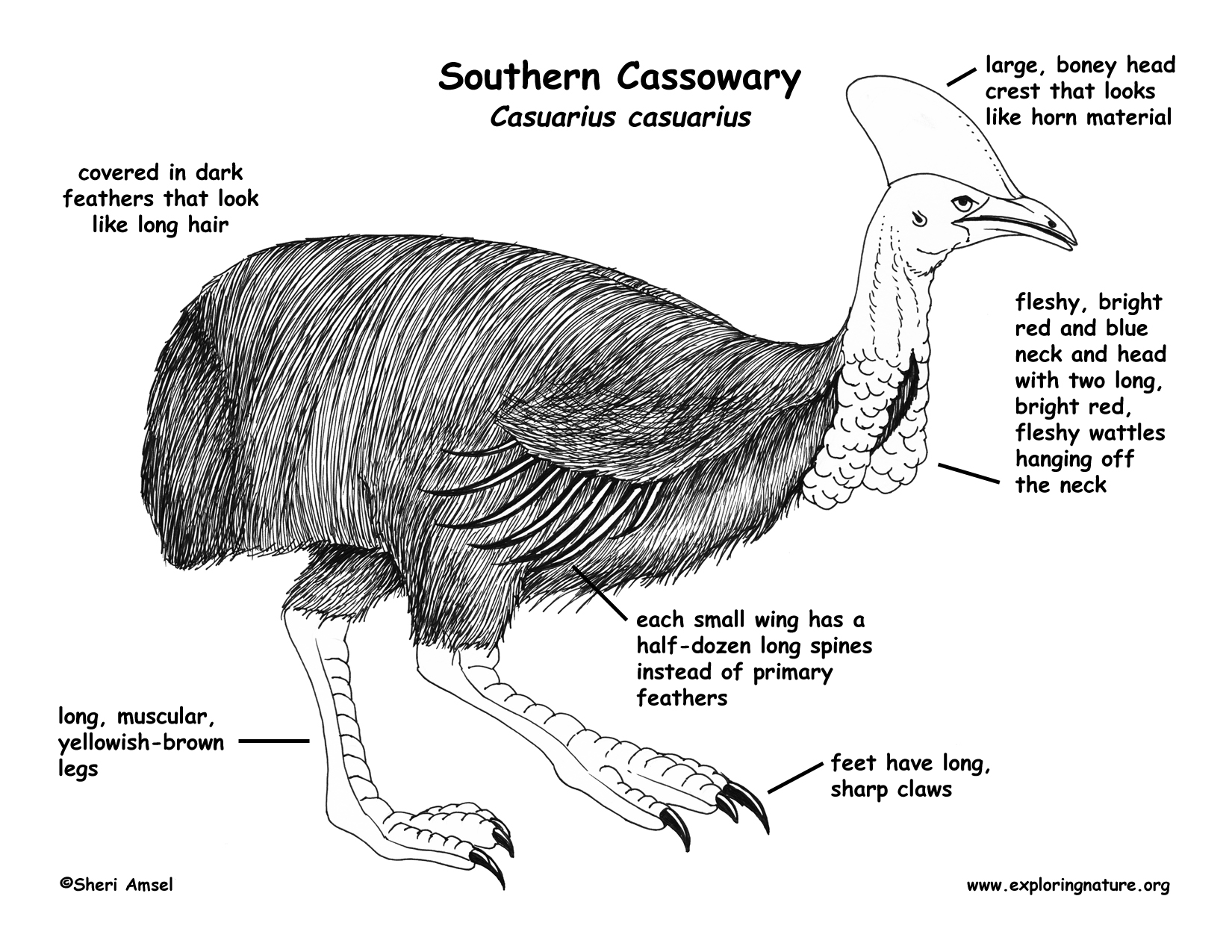 Cassowary coloring download cassowary coloring cassowary coloring 2 download drawings pooptronica