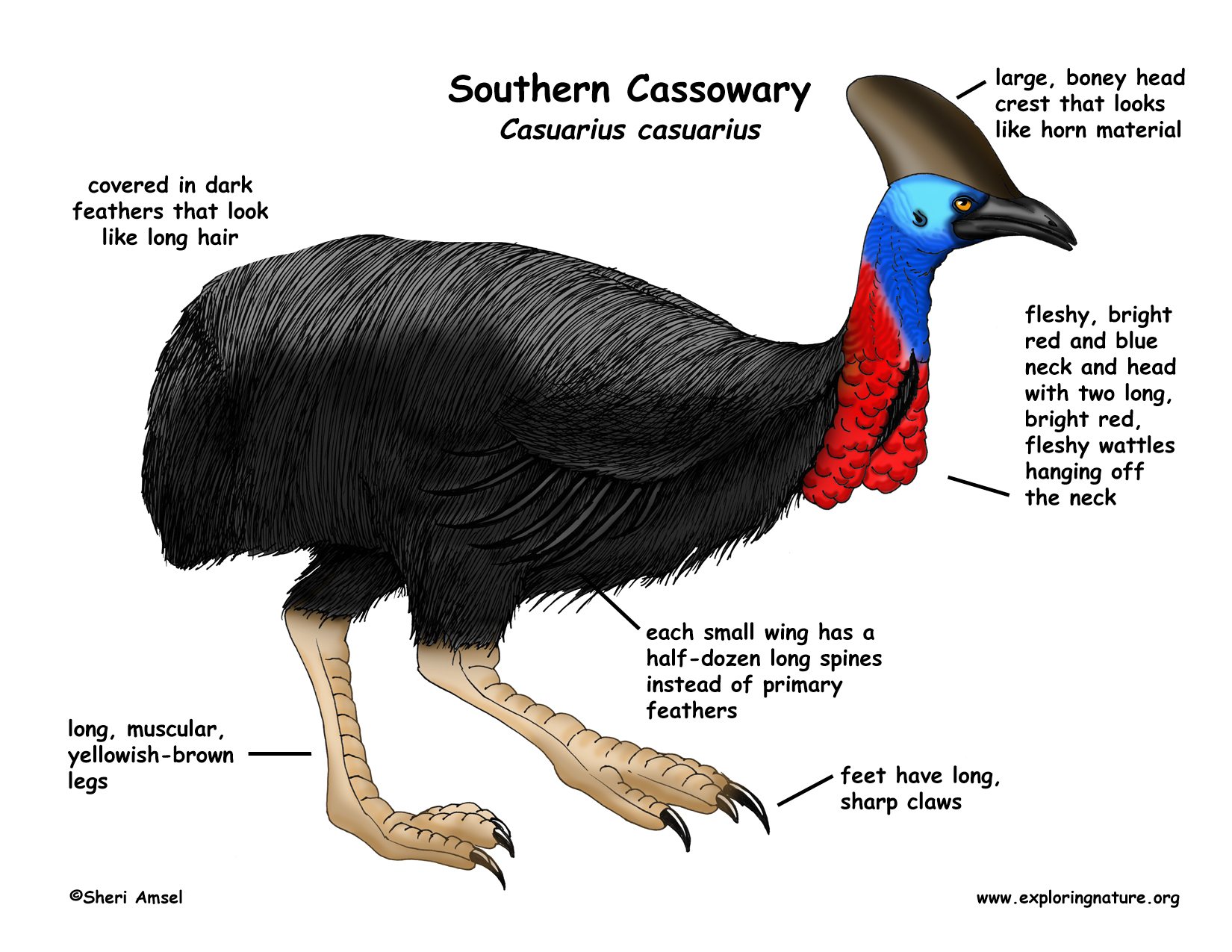 cassowary coloring pages - photo#23