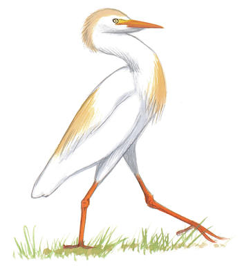 Cattle Egret clipart #19, Download drawings
