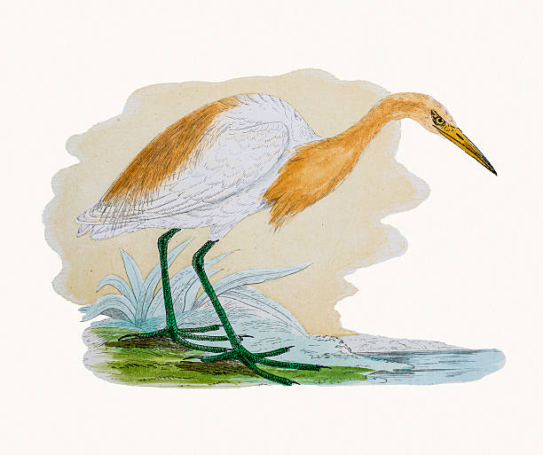 Cattle Egret clipart #9, Download drawings