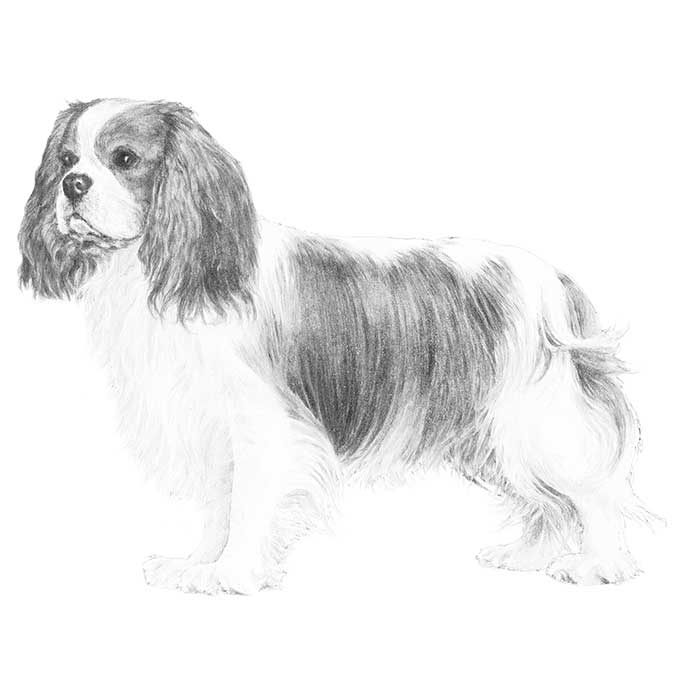 Cavalier King Charles Coloring Download Cavalier King