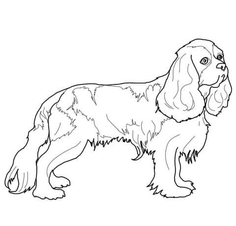 King Charles Spaniel coloring #8, Download drawings