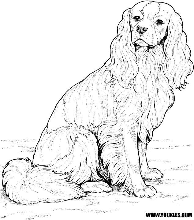 King Charles Spaniel coloring #4, Download drawings