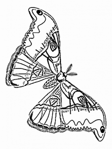 Cecropia Moth clipart #7, Download drawings