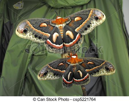 Cecropia Moth clipart #8, Download drawings