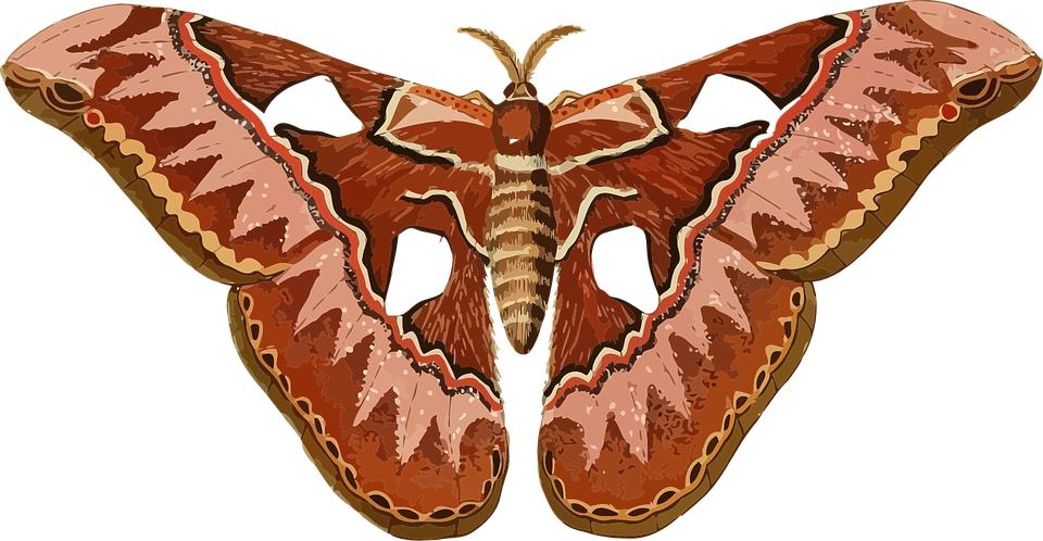 Cecropia Moth clipart #4, Download drawings