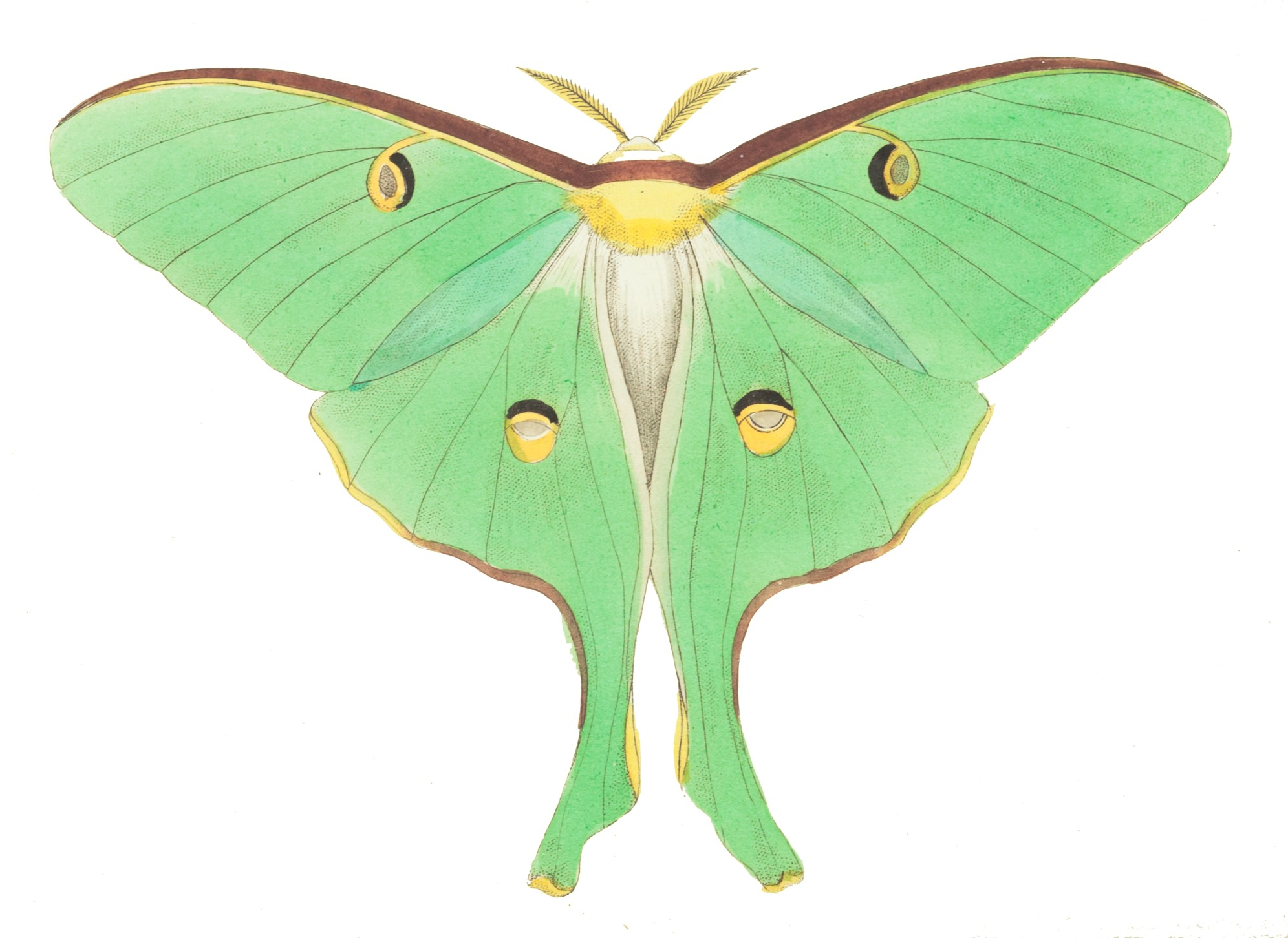 Swift Moth clipart #7, Download drawings