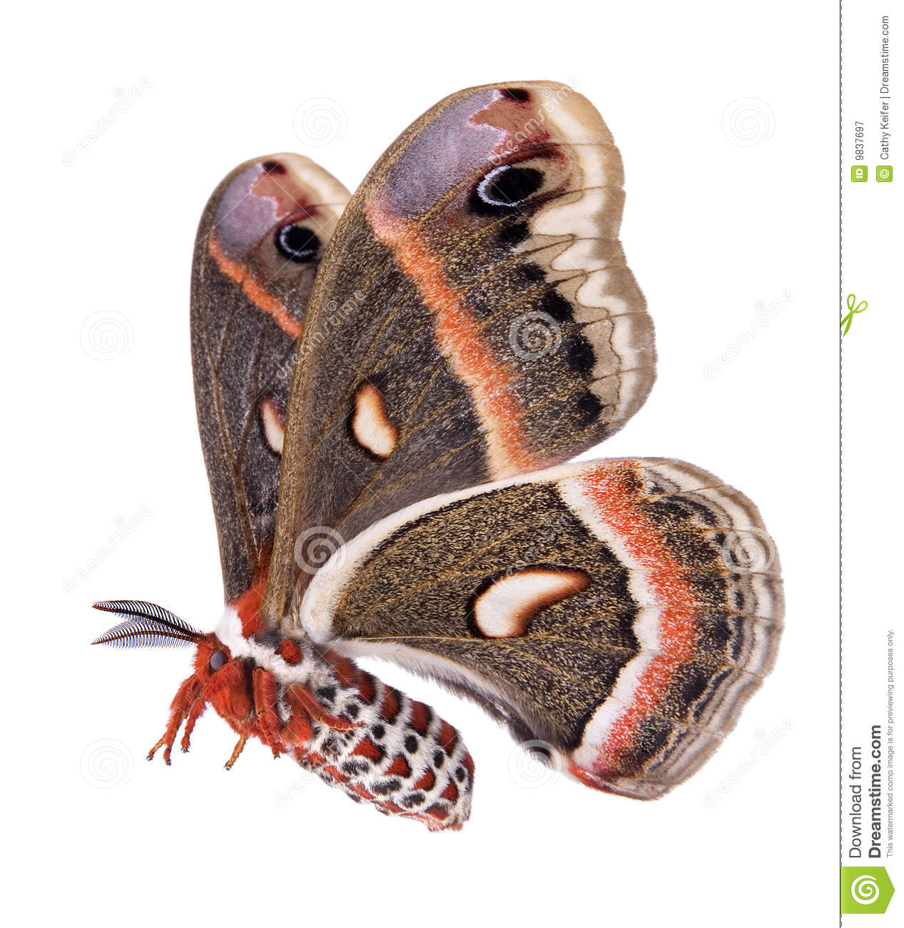 Cecropia Moth clipart #20, Download drawings