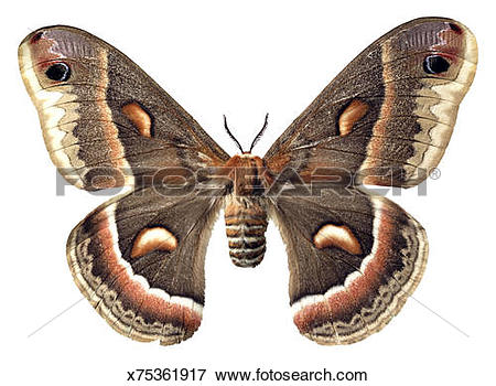 Cecropia Moth clipart #18, Download drawings