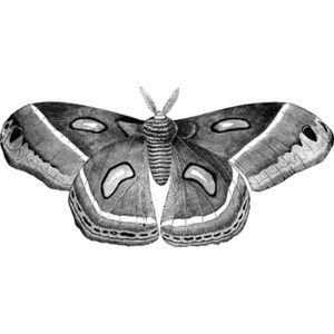 Cecropia Moth clipart #15, Download drawings