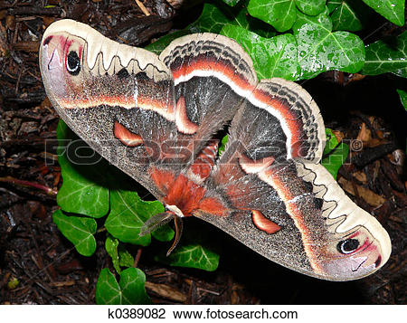 Cecropia Moth clipart #16, Download drawings