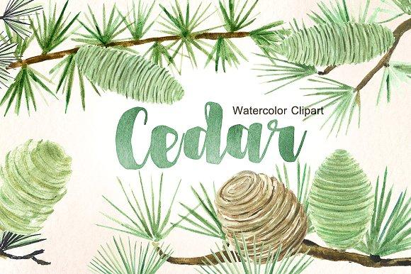 Cedar clipart #3, Download drawings