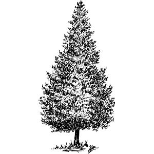 Cedar clipart #11, Download drawings