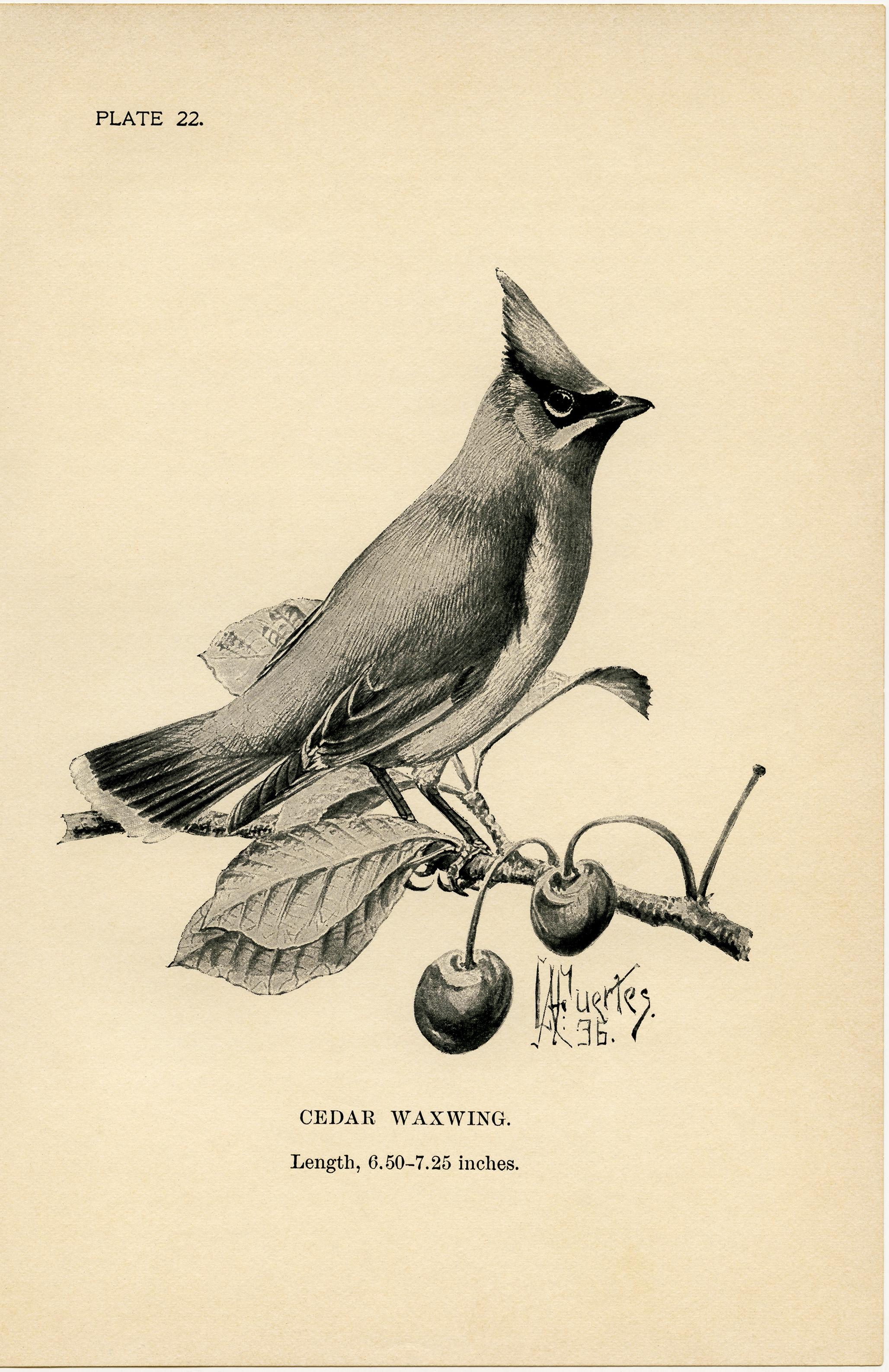Cedar Waxwing clipart #1, Download drawings