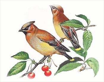 Cedar Waxwing clipart #11, Download drawings