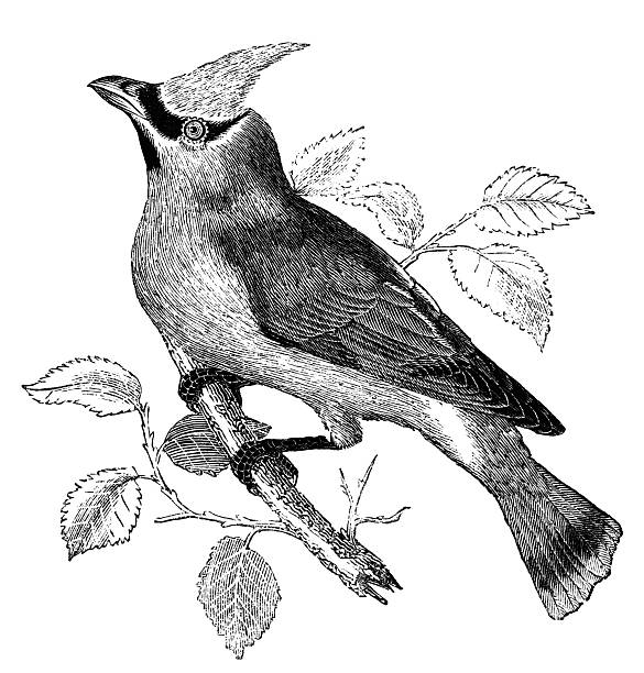 Cedar Waxwing clipart #8, Download drawings