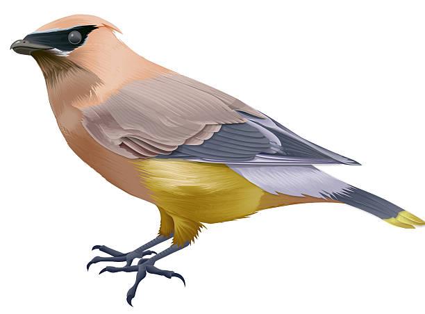 Cedar Waxwing clipart #9, Download drawings
