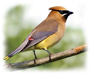 Waxwing clipart #18, Download drawings