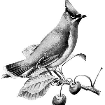 Cedar Waxwing clipart #5, Download drawings