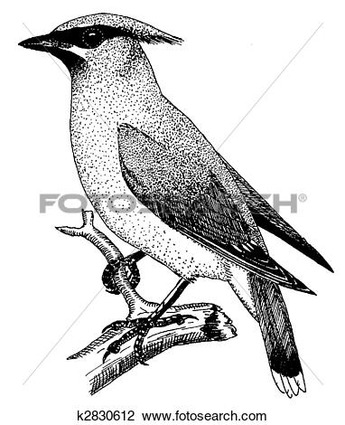 Waxwing clipart #7, Download drawings
