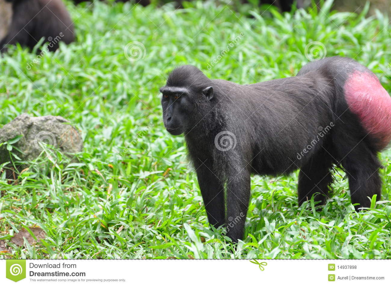 Crested Black Macaque clipart #18, Download drawings
