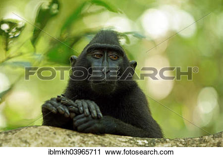 Celebes Crested Macaque clipart #15, Download drawings