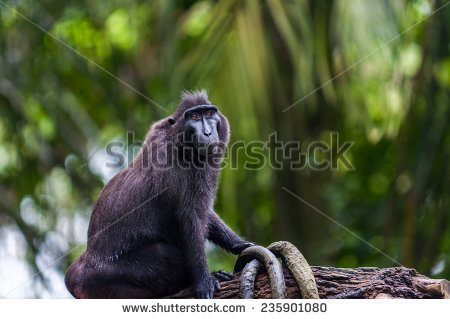 Celebes Crested Macaque clipart #2, Download drawings